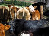3rd October 2021  cow assassins
