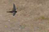 Plain Swift (Apus unicolor)