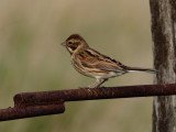 Gallery Reed Bunting