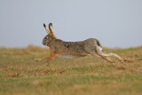 Gallery European Hare