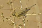 Willow Warbler  ( Phylloscopus trochilus)