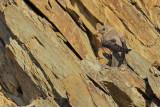 Crag Martin (Ptyonoprogne rupestris)