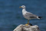 Yellow-legged Gull - (Larus michahellis ssp. michahellis)
