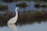 Little Egret (Egreta garzetta)