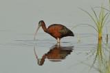 Glossy Ibis (Plegadis falcinellus)