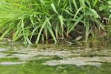 Grass snake - (Natrix natrix persa)