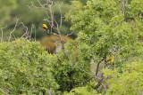 Eurasian Golden Oriole (Oriolus oriolus)