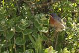Eastern Subalpine Warbler (Sylvia cantillans ssp. albistriata)
