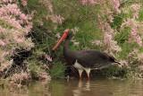 Black Stork - (Ciconia nigra)