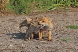 Eurasian Red Fox -  (Vulpes vulpes crucigera)