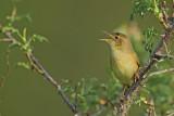 Gallery Common Grashopper Warbler