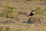 Gallery Ring Ouzel