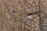 Gallery Common Pheasant