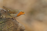 Gallery Eurasian Robin