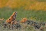 Gallery Short eared owl 2011