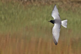 Gallery White-winged Black Tern