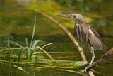 Little Bittern Lesvos