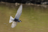 Gallery Whiskered Tern