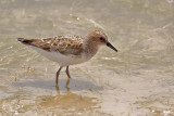 Gallery Little Stint
