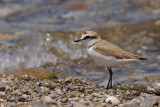 Gallery Kentish Plover
