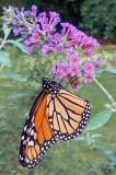 Male Monarch 2021