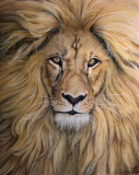 Lion portrait in pastel on velour paper. 9 x 12 inches.
