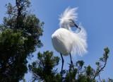 Cattle Egret and Egrets Herons