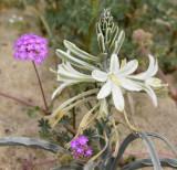 Desert Lily - Hesperocallis