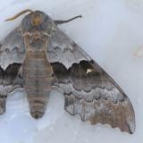 7829  Western Poplar Sphinx - Pachysphinx occidentalis