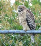 Red-shouldered Hawk juvenile