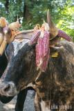 Bull with corn