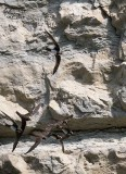 Rondone maggiore (Tachymarptis melba)