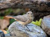 Codirosso comune (Phoenicurus phoenicurus)