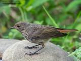 Codirosso spazzacamino (Phoenicurus ochruros)