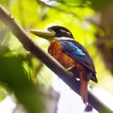 Birds of West Papua - Indonesia