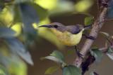 Copper-throated Sunbird - female