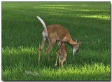 White-tailed Deer - Doe and Fawn