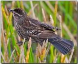 Red-winged Blackbird - female.jpg