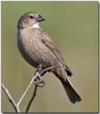 Brownheaded Cowbird - female.jpg