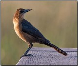 Boattailed Grackle - female.jpg