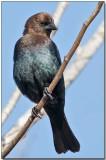Brownheaded Cowbird - male.jpg