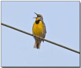 Eastern Meadowlark.jpg