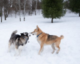 Dogs Playing in the Fresh Snow