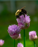 Bumblebee on Chive Blossom