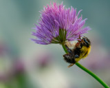 Bumble Bee on Chive Blossom