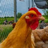 Chicken Delight
