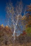 Naked Birch