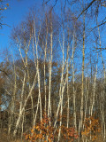 Birches In The Sun