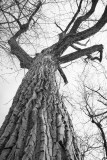 Mighty Cottonwood