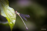 Damselflies-Dragonflies